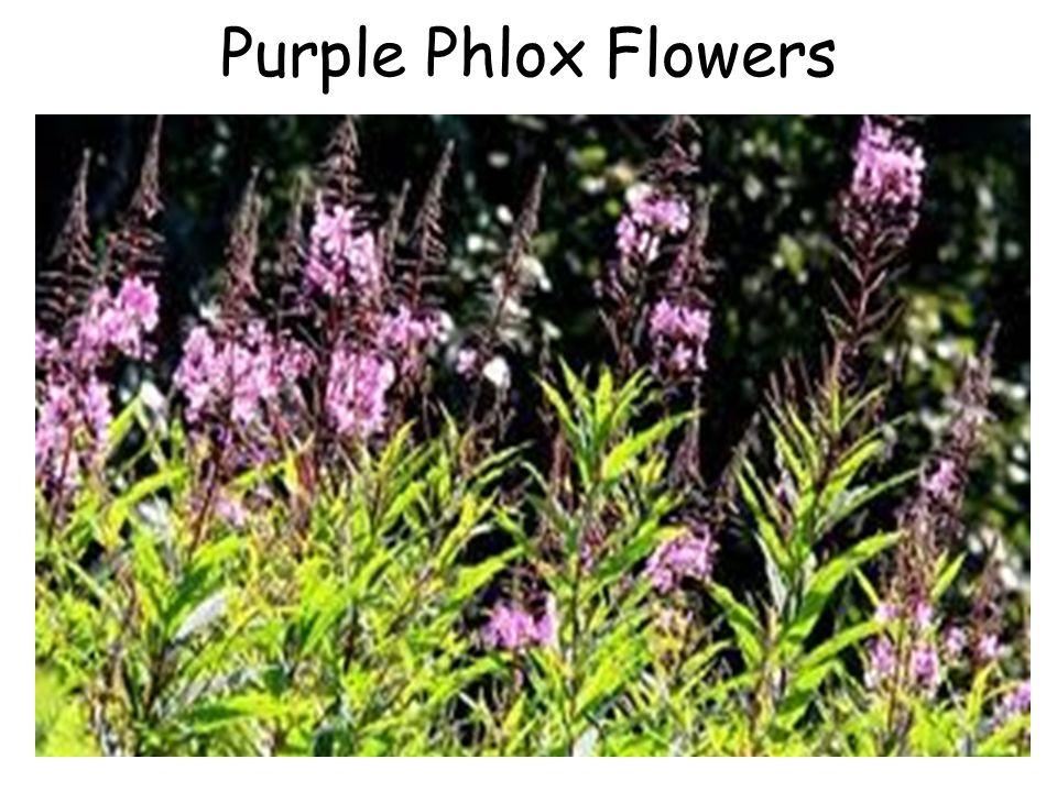 Purple Phlox Flowers