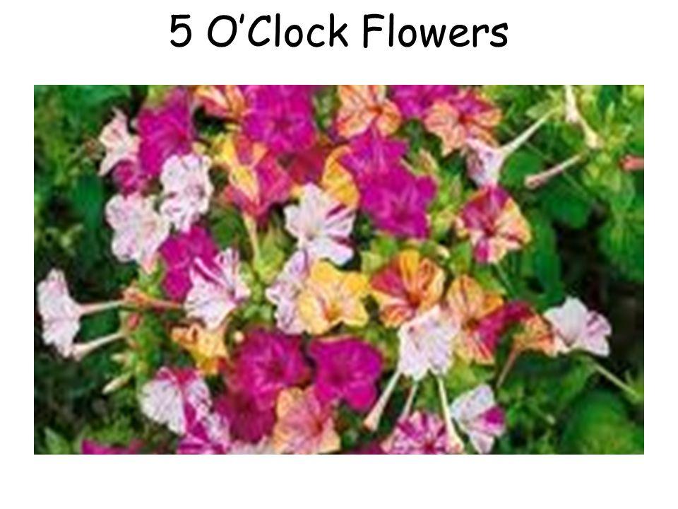 5 O'Clock Flowers