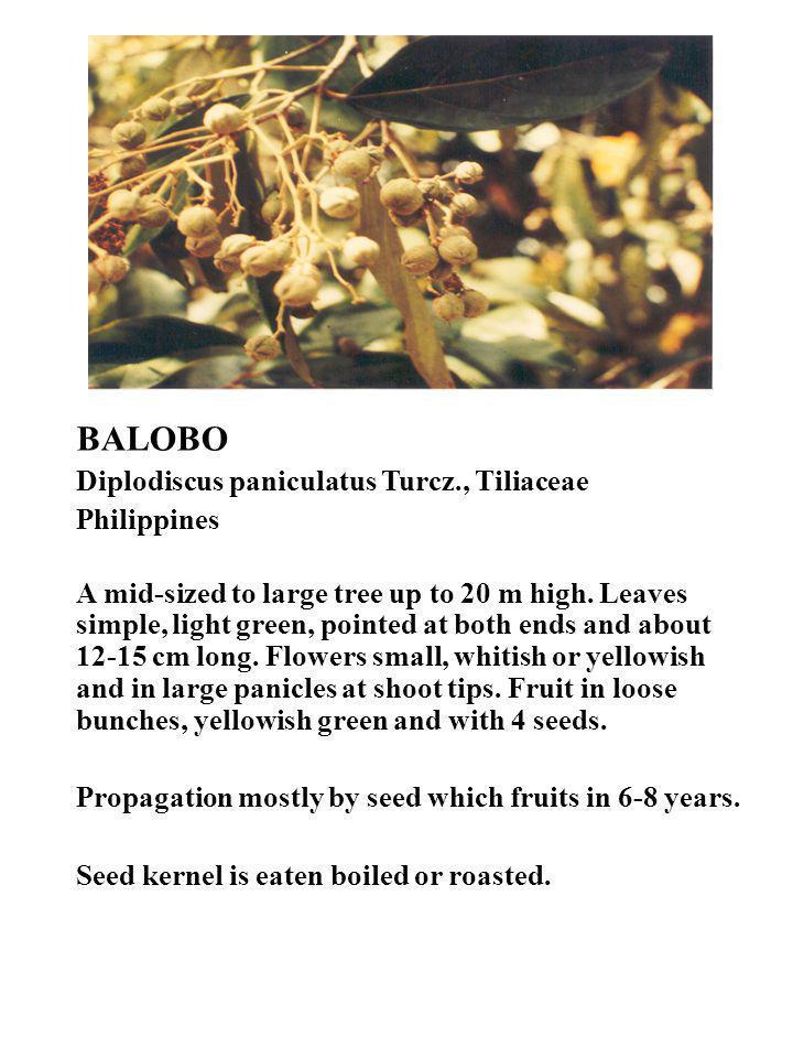 BALOBO Diplodiscus paniculatus Turcz., Tiliaceae Philippines