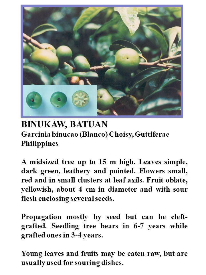 BINUKAW, BATUAN Garcinia binucao (Blanco) Choisy, Guttiferae