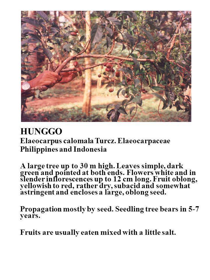 HUNGGO Elaeocarpus calomala Turcz. Elaeocarpaceae