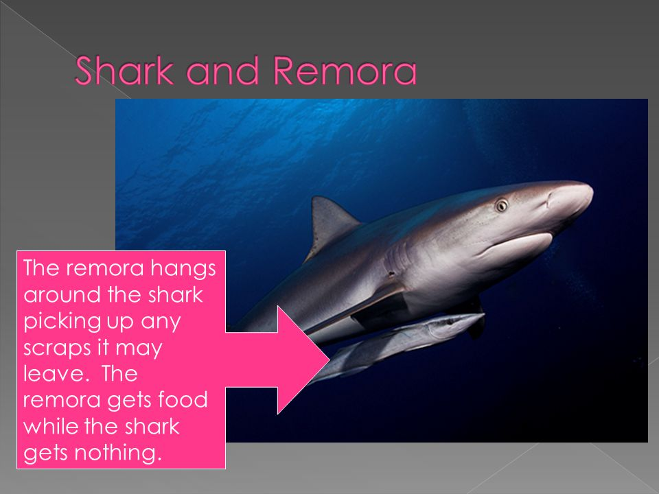 Shark and Remora The remora hangs around the shark picking up any scraps it may leave.