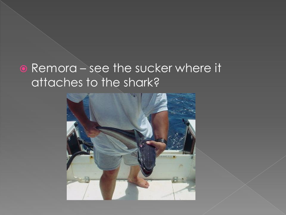 Remora – see the sucker where it attaches to the shark