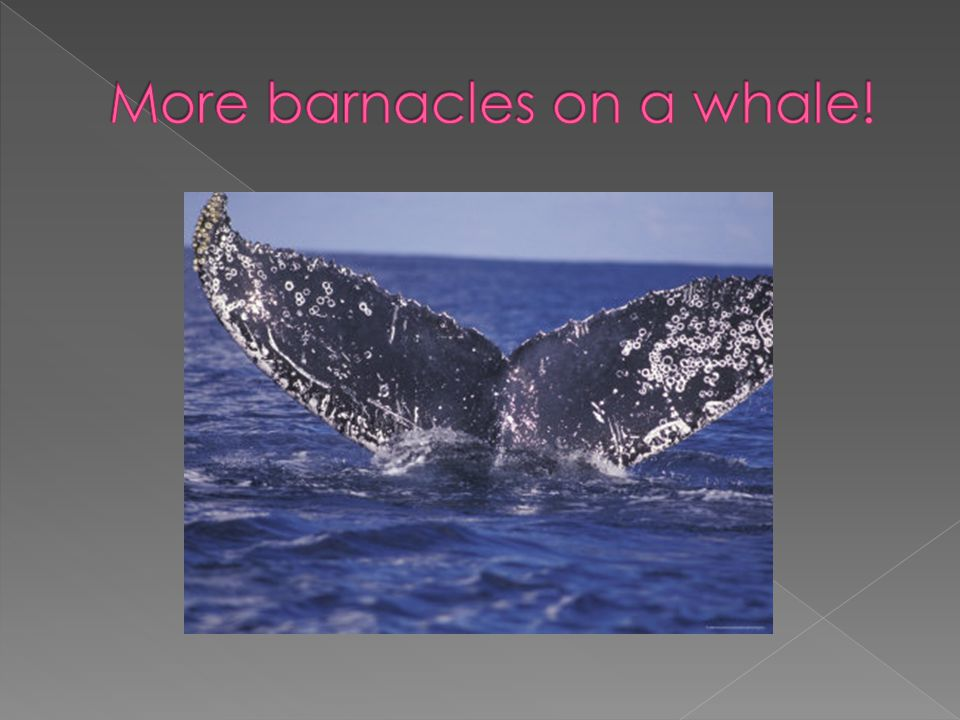 More barnacles on a whale!