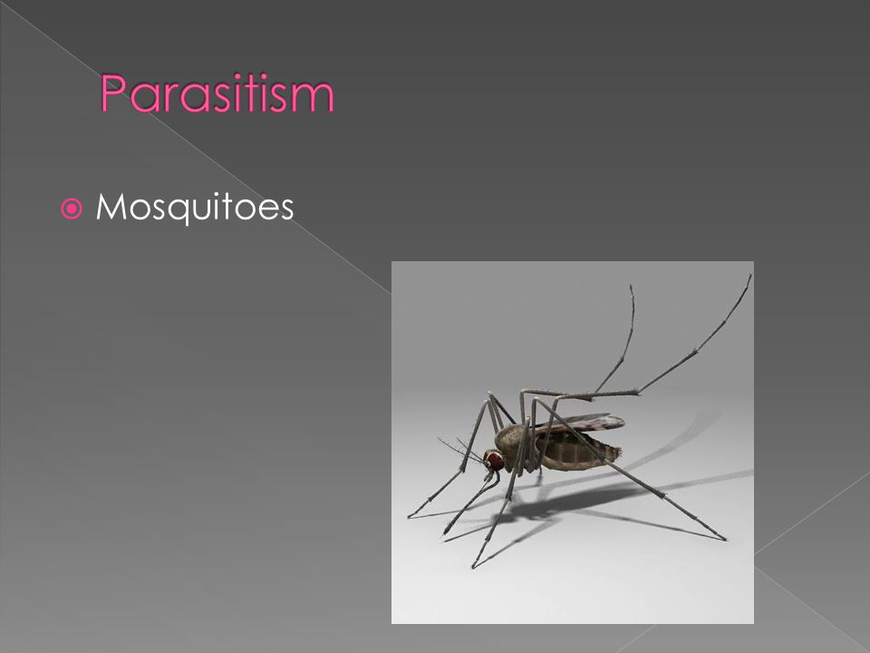 Parasitism Mosquitoes