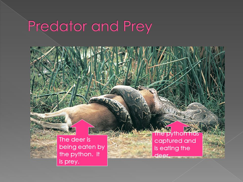Predator and Prey The python has captured and is eating the deer.