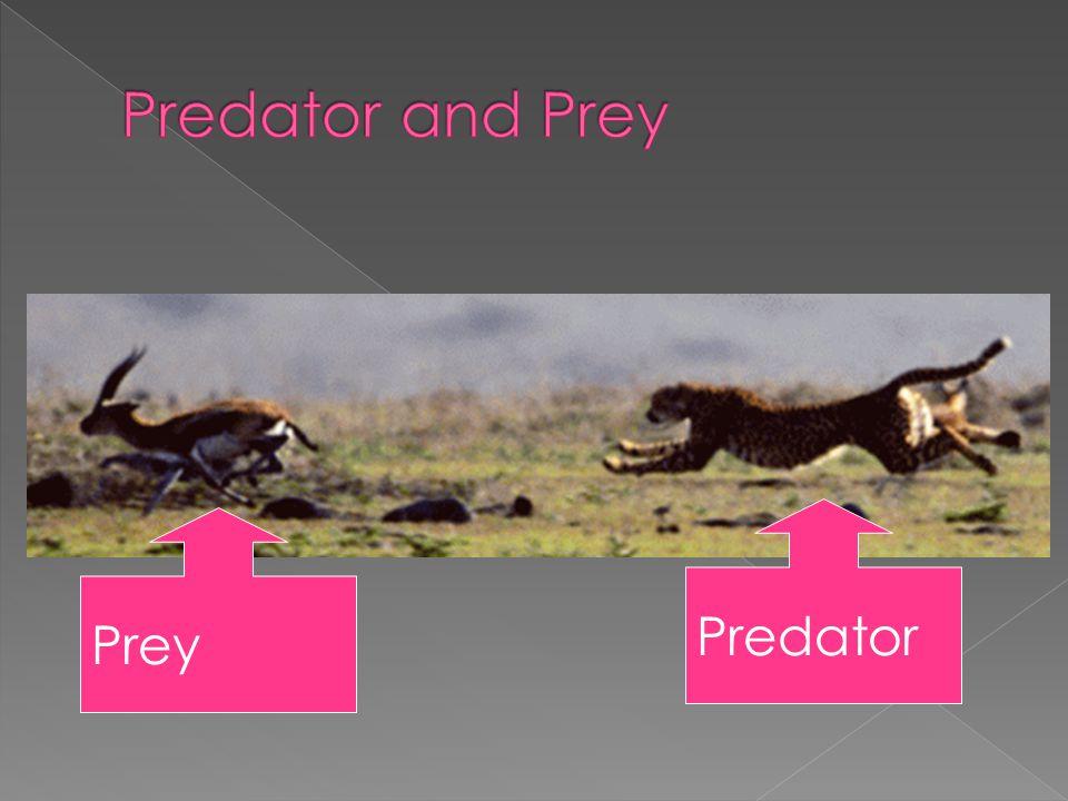 Predator and Prey Predator Prey