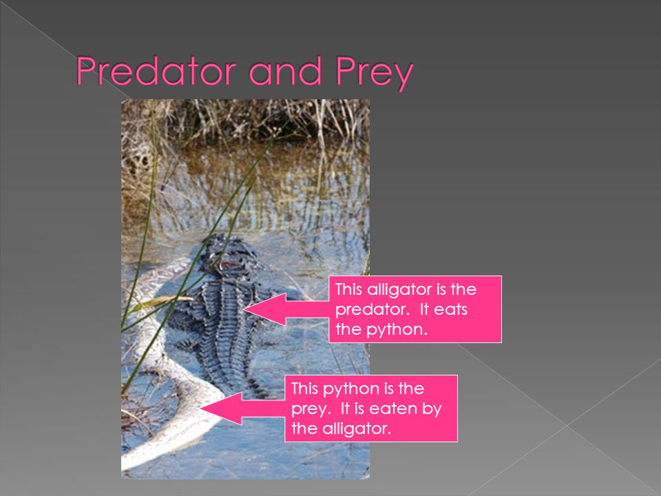 Predator and Prey This alligator is the predator. It eats the python.