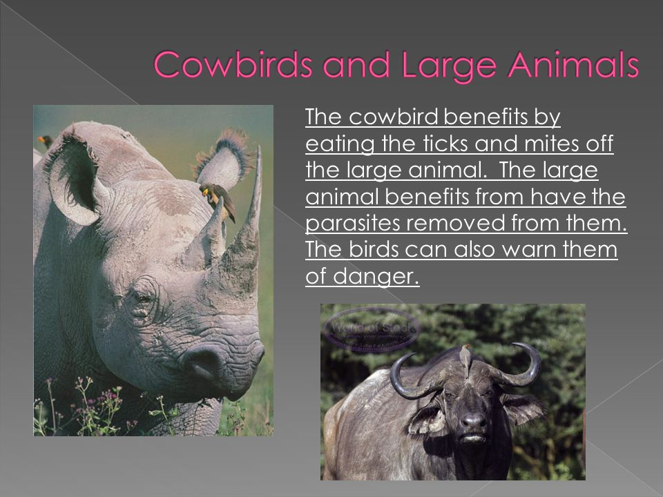 Cowbirds and Large Animals