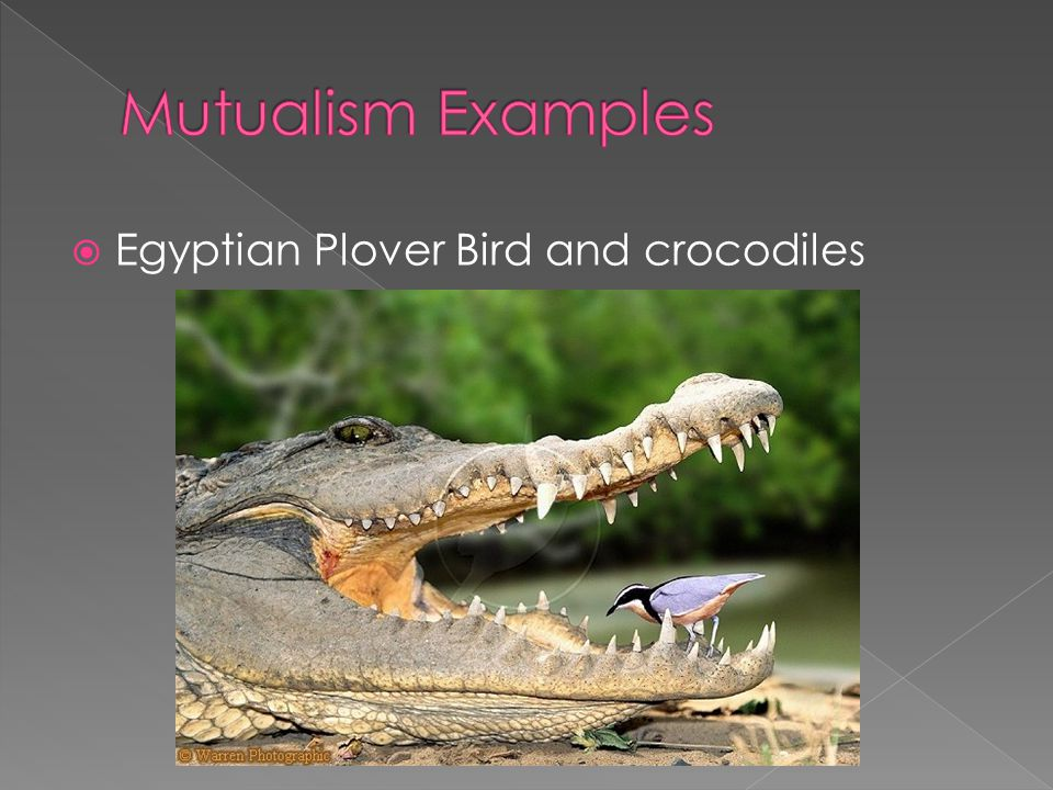 Mutualism Examples Egyptian Plover Bird and crocodiles