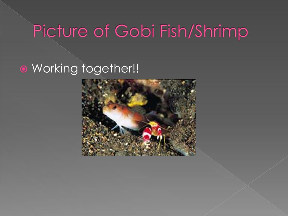 goby fish and blind shrimp symbiotic relationship