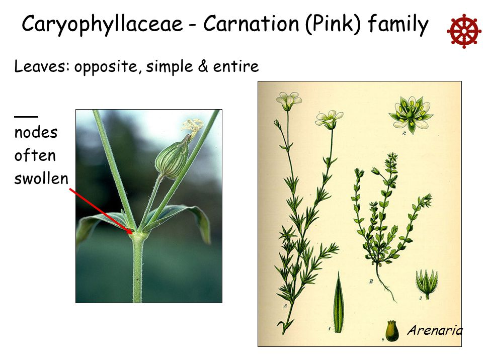  Caryophyllaceae - Carnation (Pink) family