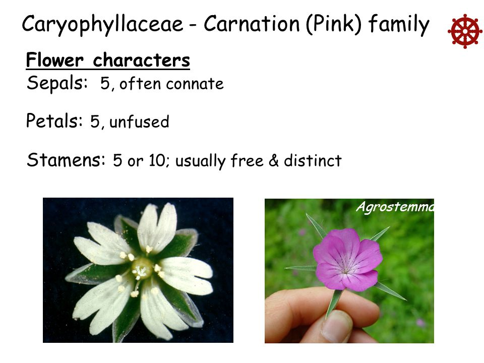  Caryophyllaceae - Carnation (Pink) family Flower characters