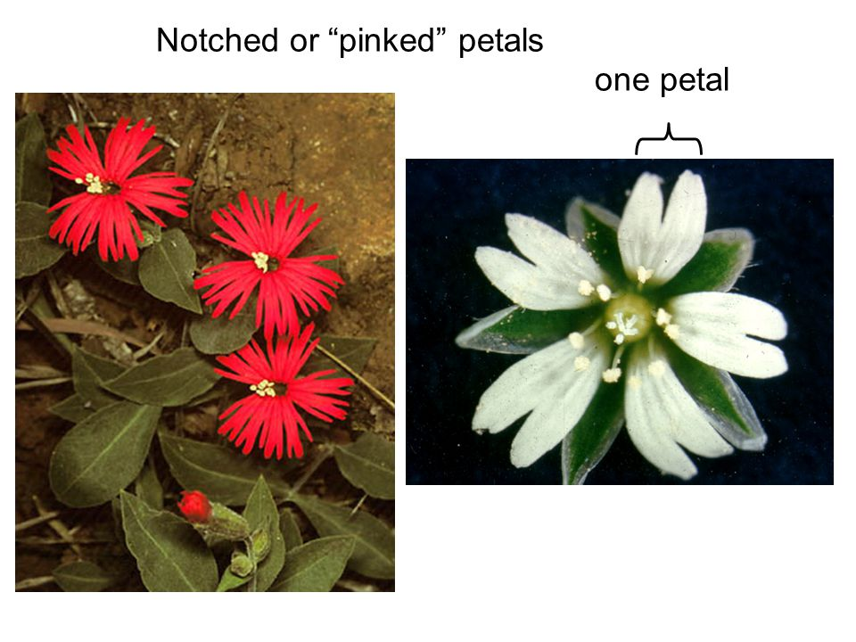 Notched or pinked petals