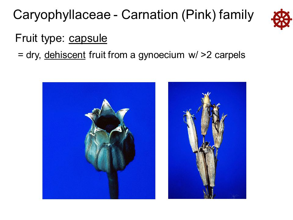  Caryophyllaceae - Carnation (Pink) family Fruit type: capsule