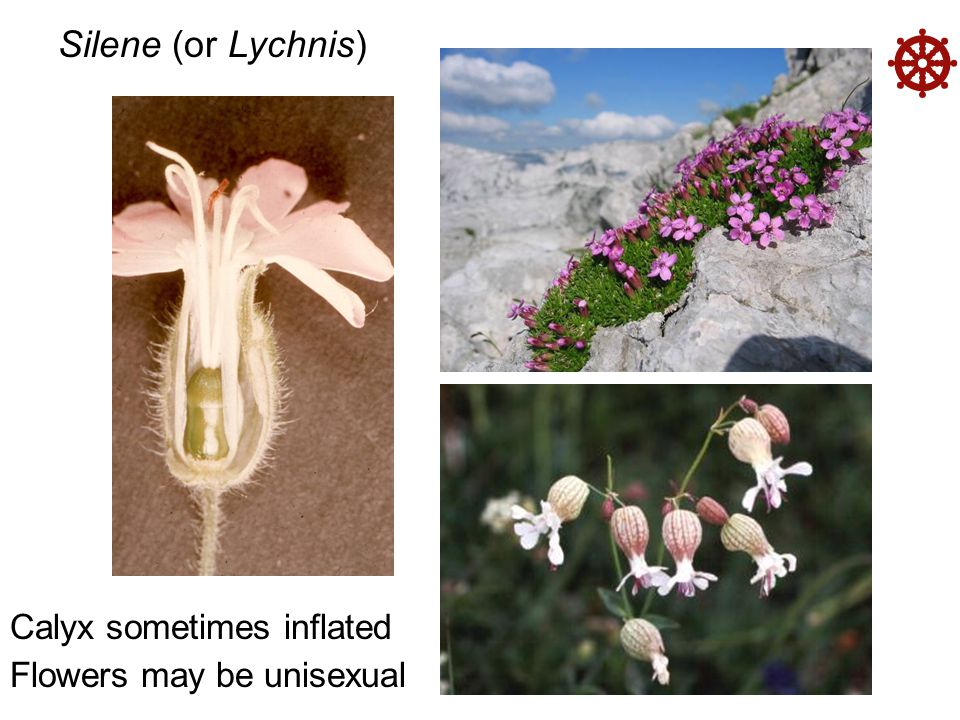  Silene (or Lychnis) Calyx sometimes inflated