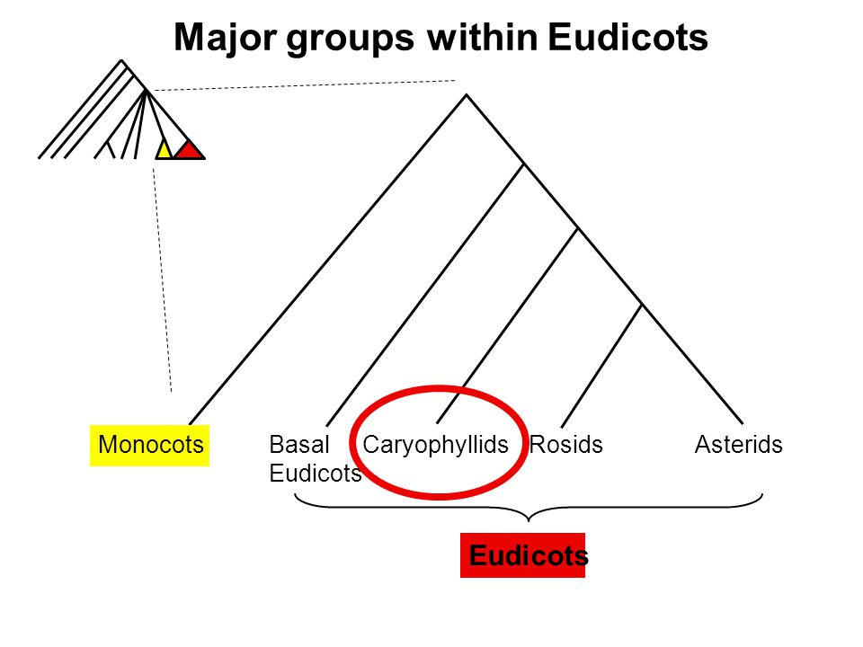 Major groups within Eudicots