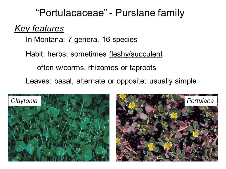 Portulacaceae - Purslane family