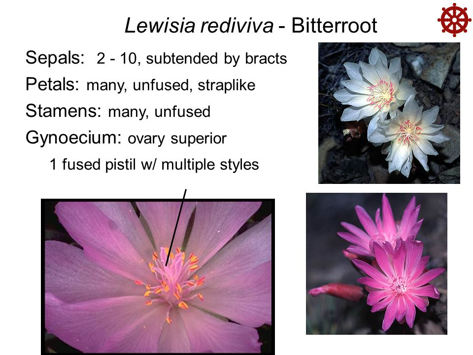  Lewisia rediviva - Bitterroot Sepals: 2 - 10, subtended by bracts