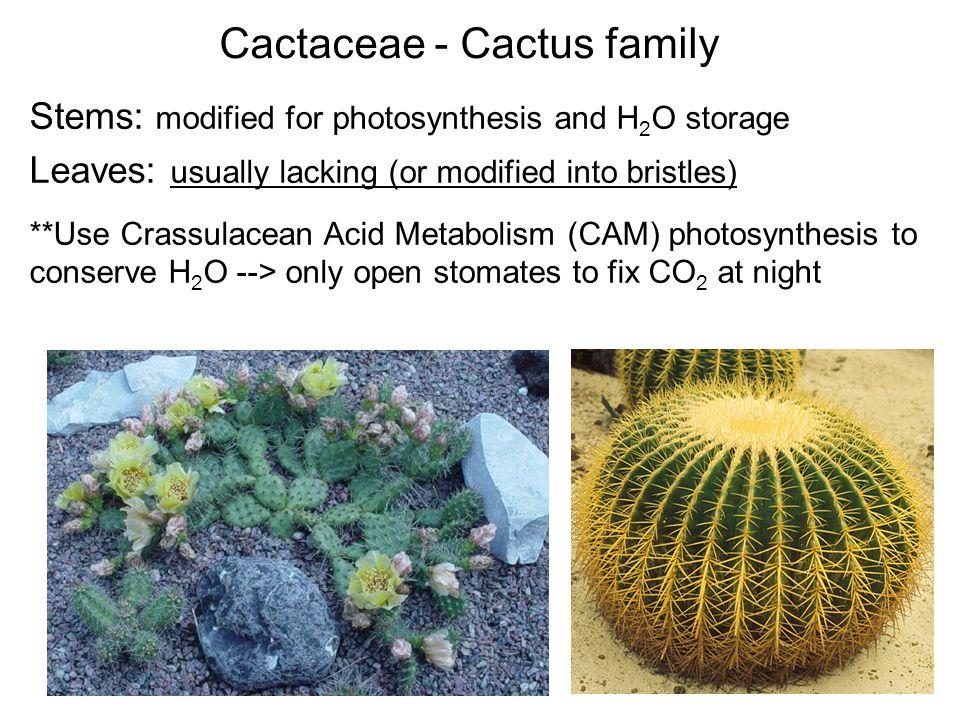Cactaceae - Cactus family