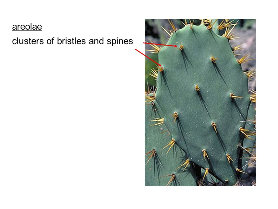 areolae clusters of bristles and spines