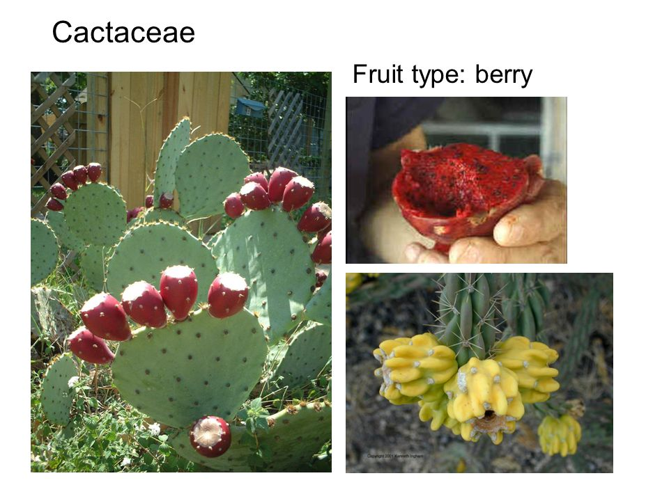 Cactaceae Fruit type: berry