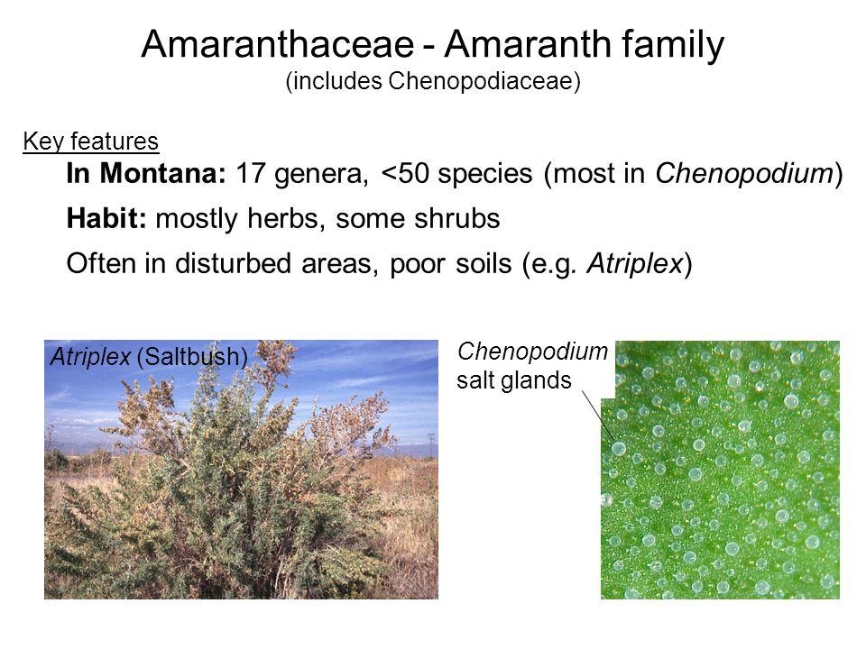 Amaranthaceae - Amaranth family