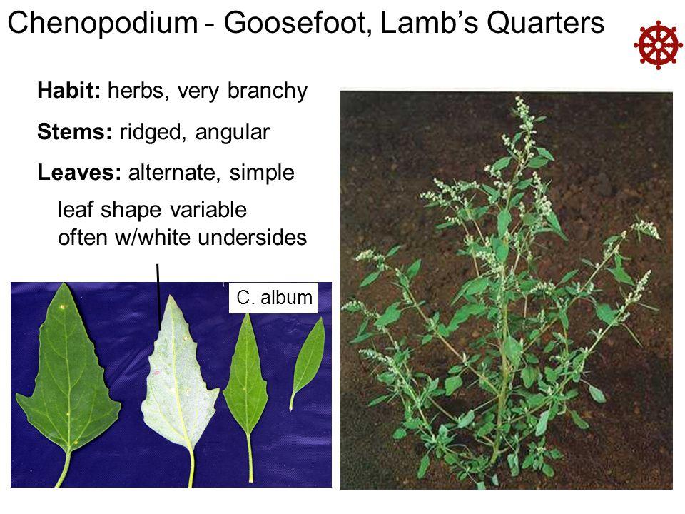  Chenopodium - Goosefoot, Lamb's Quarters Habit: herbs, very branchy