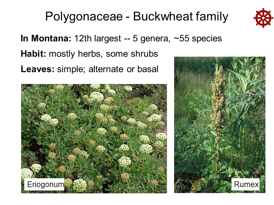 Polygonaceae - Buckwheat family