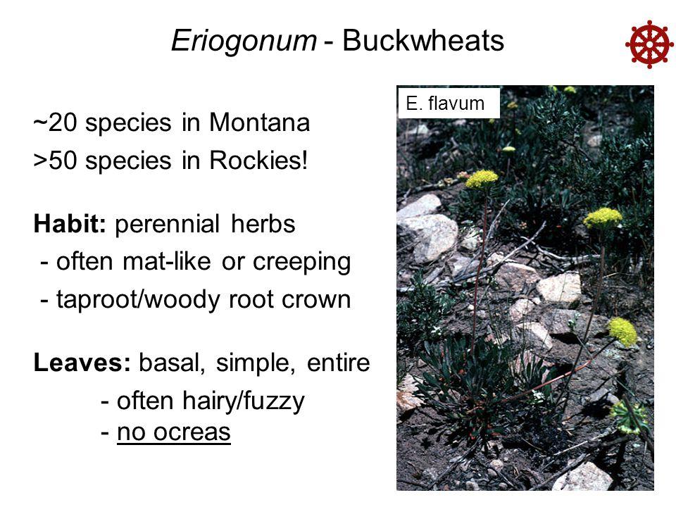 Eriogonum - Buckwheats