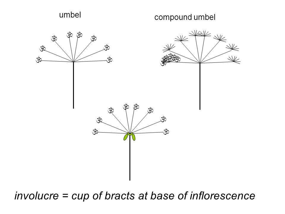 involucre = cup of bracts at base of inflorescence