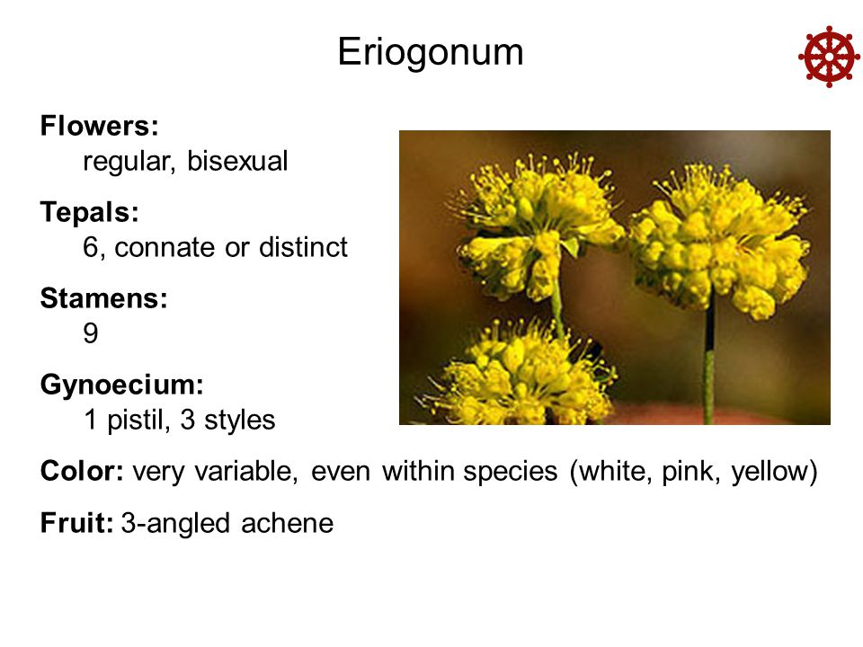  Eriogonum Flowers: regular, bisexual Tepals: 6, connate or distinct