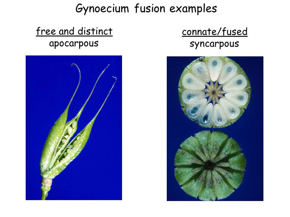 Gynoecium fusion examples