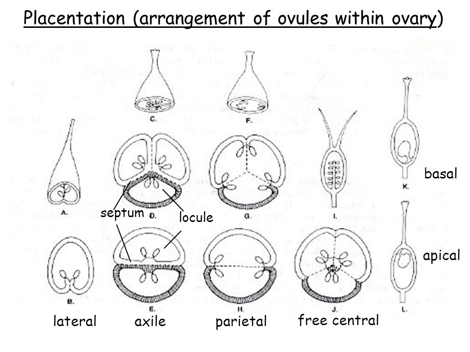 Placentation (arrangement of ovules within ovary)
