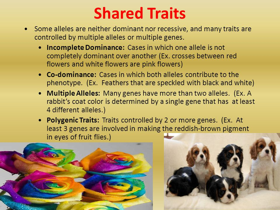 Shared Traits Some alleles are neither dominant nor recessive, and many traits are controlled by multiple alleles or multiple genes.
