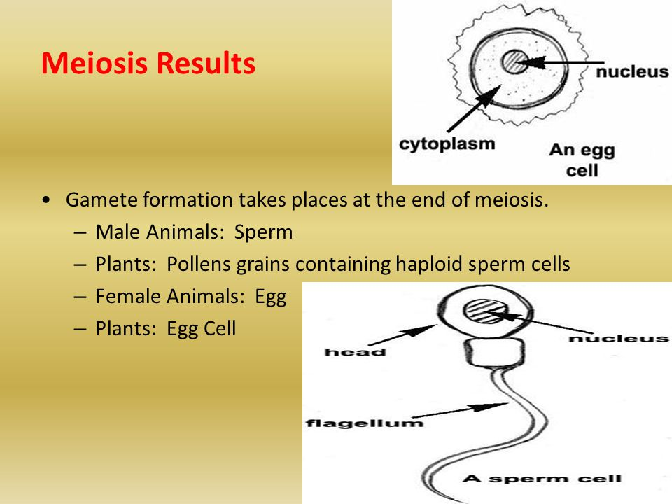Meiosis Results Gamete formation takes places at the end of meiosis.