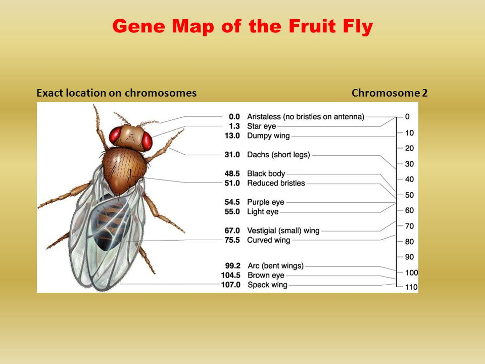 Gene Map of the Fruit Fly
