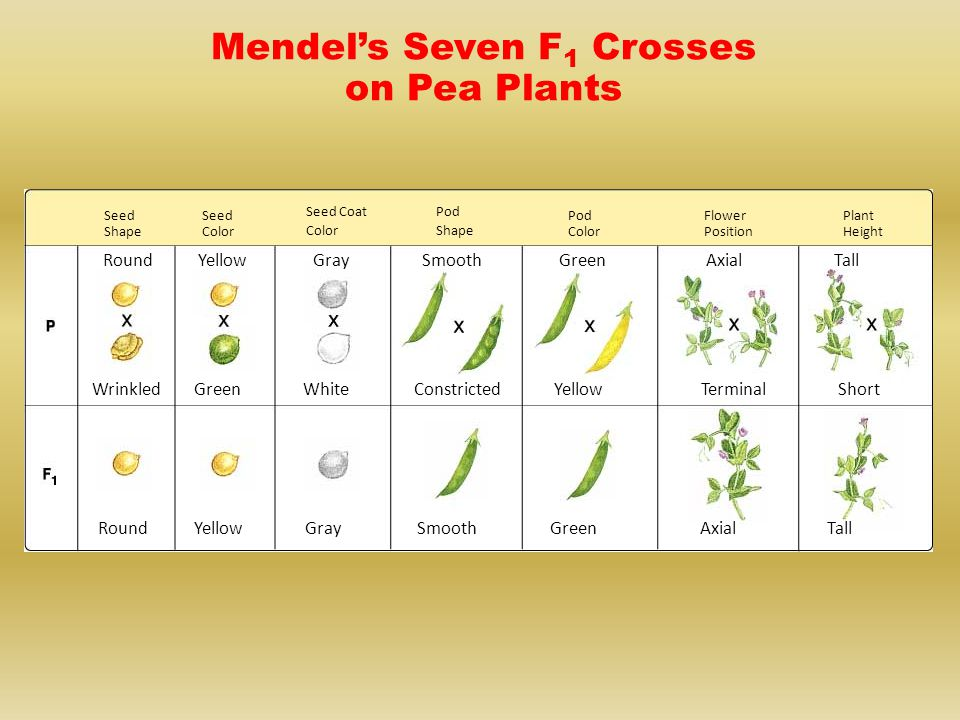 Mendel's Seven F1 Crosses on Pea Plants