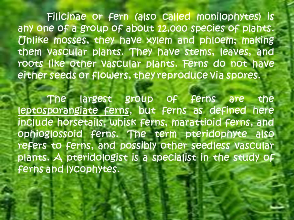 Filicinae or fern (also called monilophytes) is any one of a group of about 12,000 species of plants. Unlike mosses, they have xylem and phloem; making them vascular plants. They have stems, leaves, and roots like other vascular plants. Ferns do not have either seeds or flowers, they reproduce via spores.