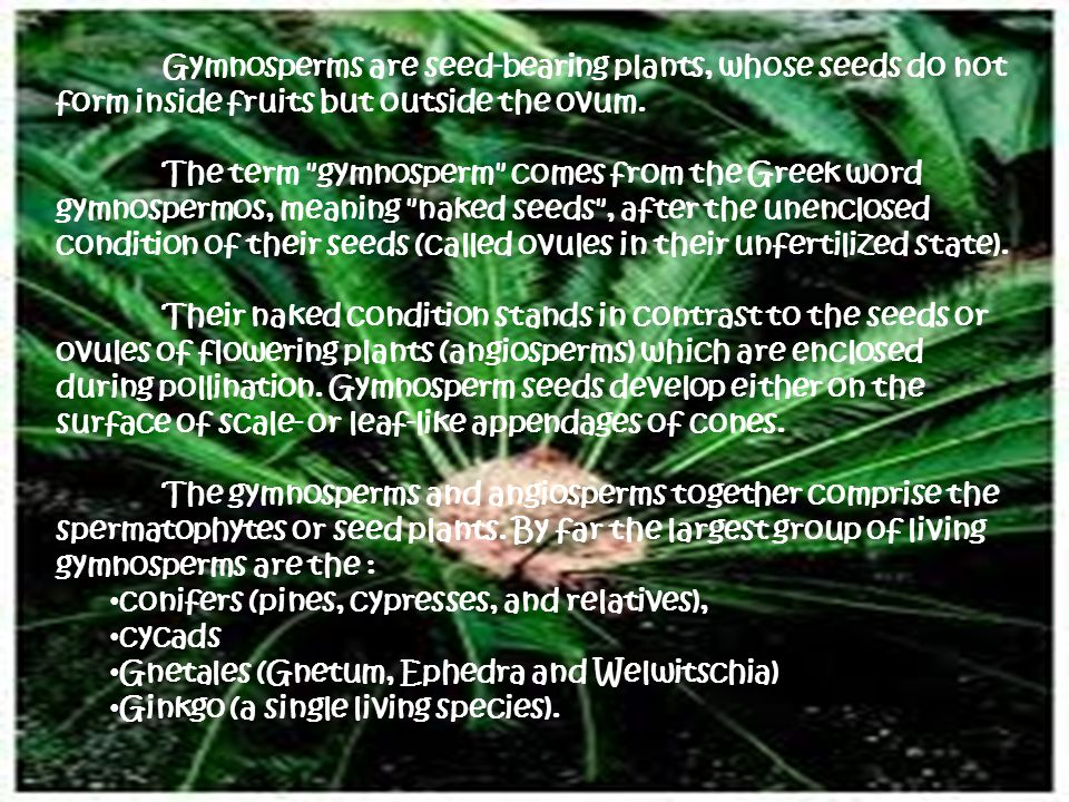 Gymnosperms are seed-bearing plants, whose seeds do not form inside fruits but outside the ovum.