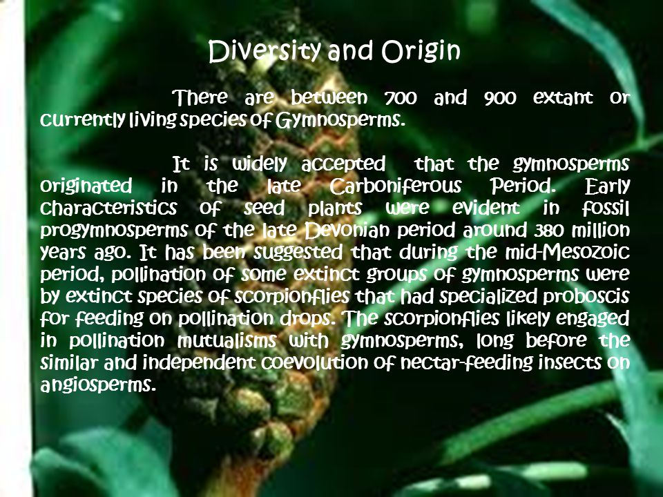 Diversity and Origin There are between 700 and 900 extant or currently living species of Gymnosperms.