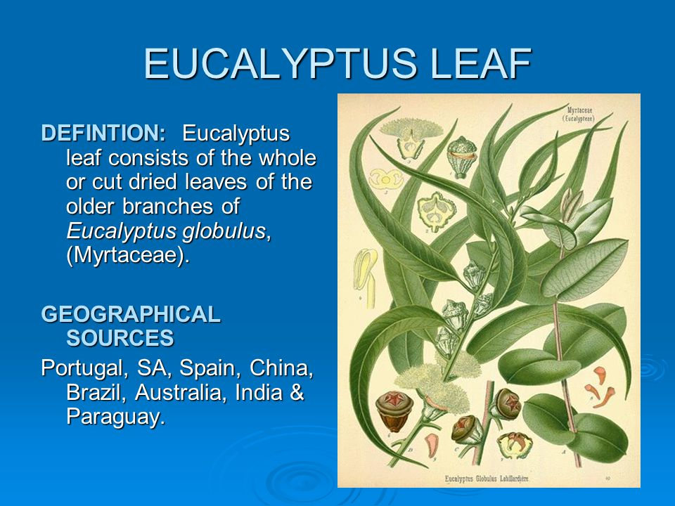 EUCALYPTUS LEAF DEFINTION: Eucalyptus leaf consists of the whole or cut dried leaves of the older branches of Eucalyptus globulus, (Myrtaceae).