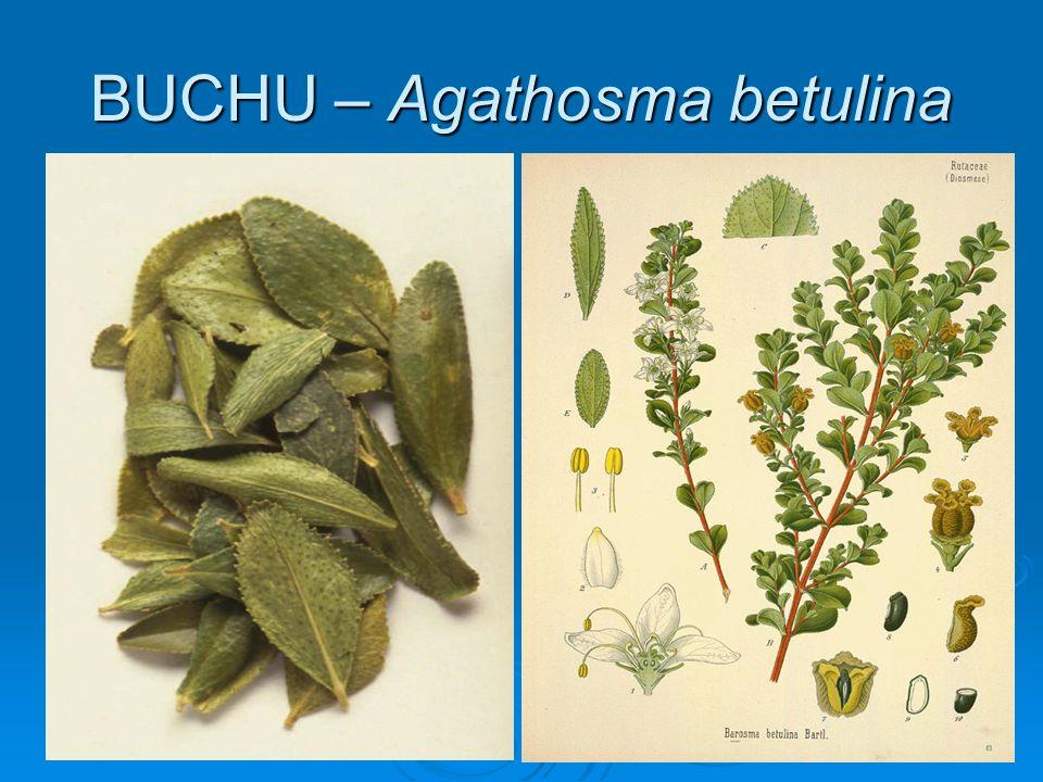 BUCHU – Agathosma betulina
