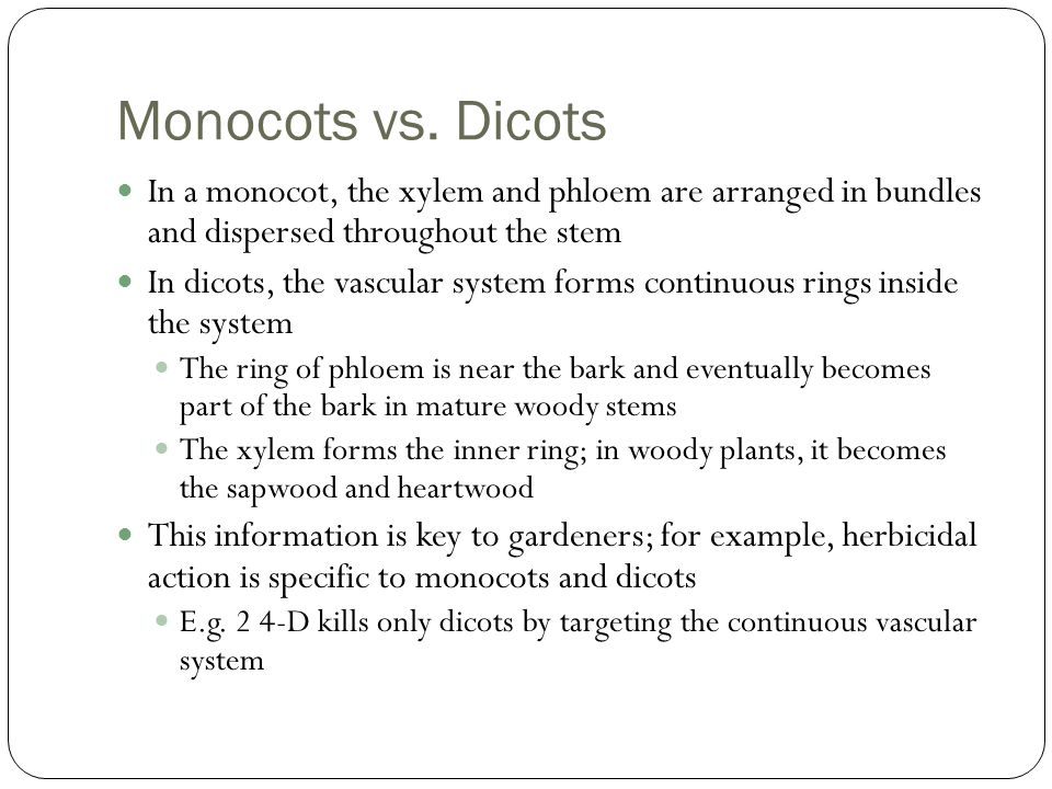 Monocots vs. Dicots In a monocot, the xylem and phloem are arranged in bundles and dispersed throughout the stem.