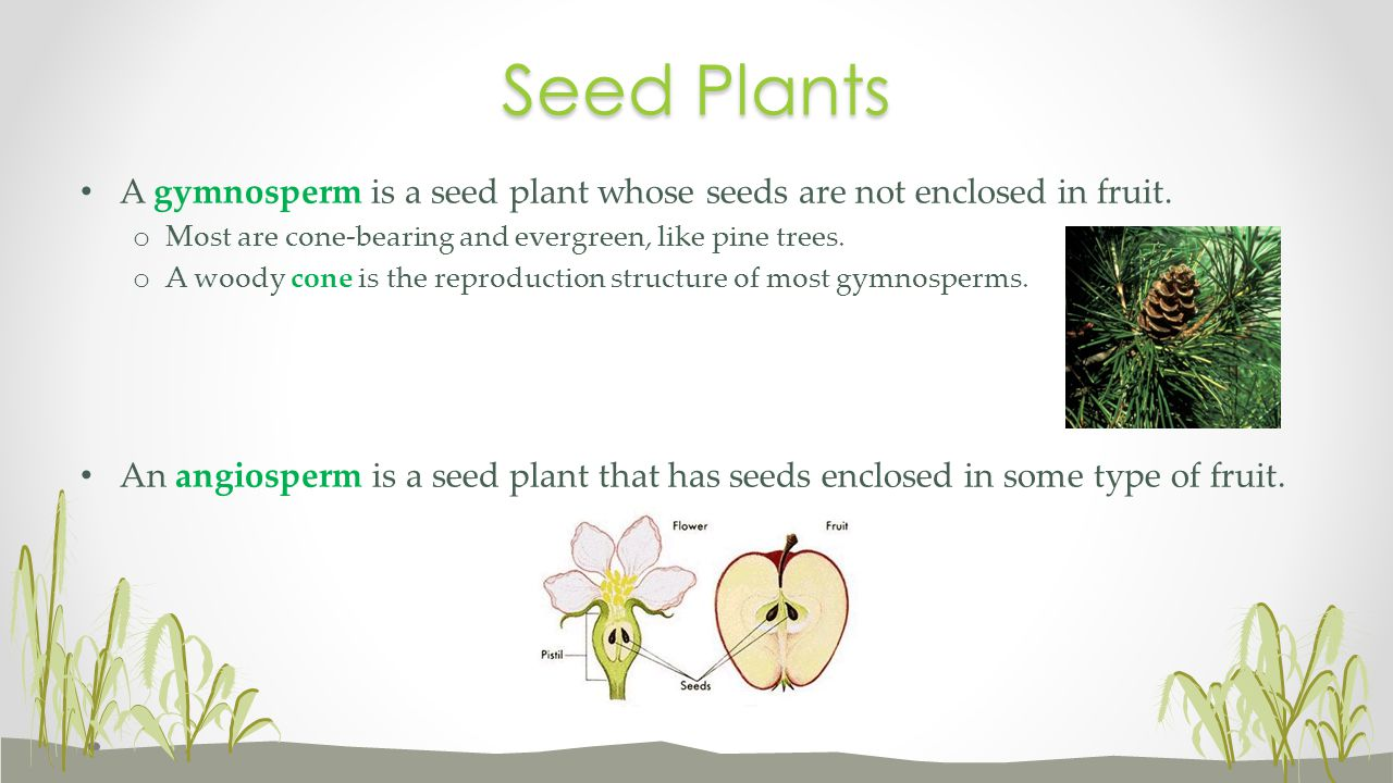 Seed Plants A gymnosperm is a seed plant whose seeds are not enclosed in fruit. Most are cone-bearing and evergreen, like pine trees.