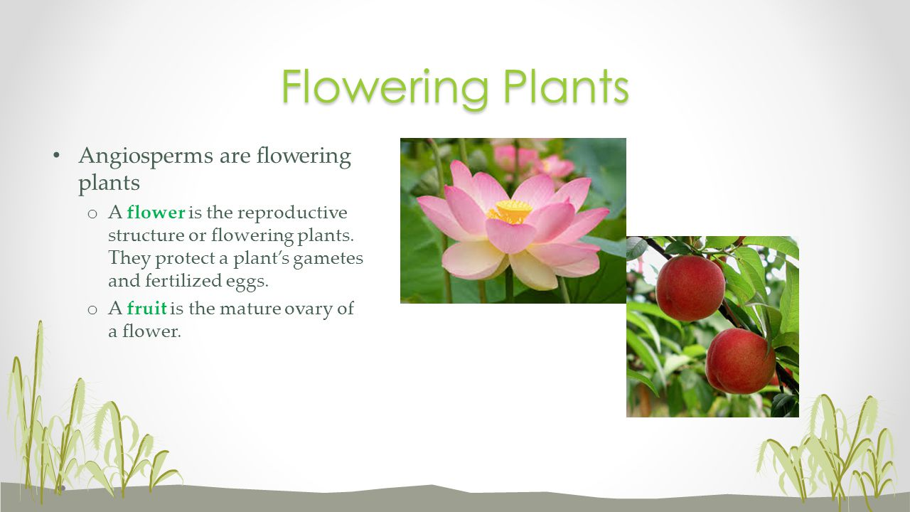 Flowering Plants Angiosperms are flowering plants