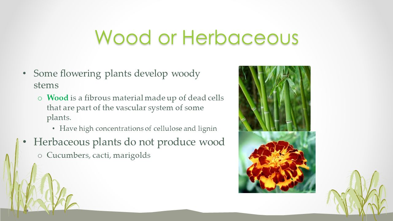 Wood or Herbaceous Herbaceous plants do not produce wood