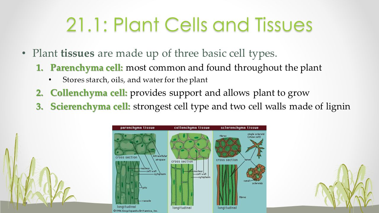 21.1: Plant Cells and Tissues