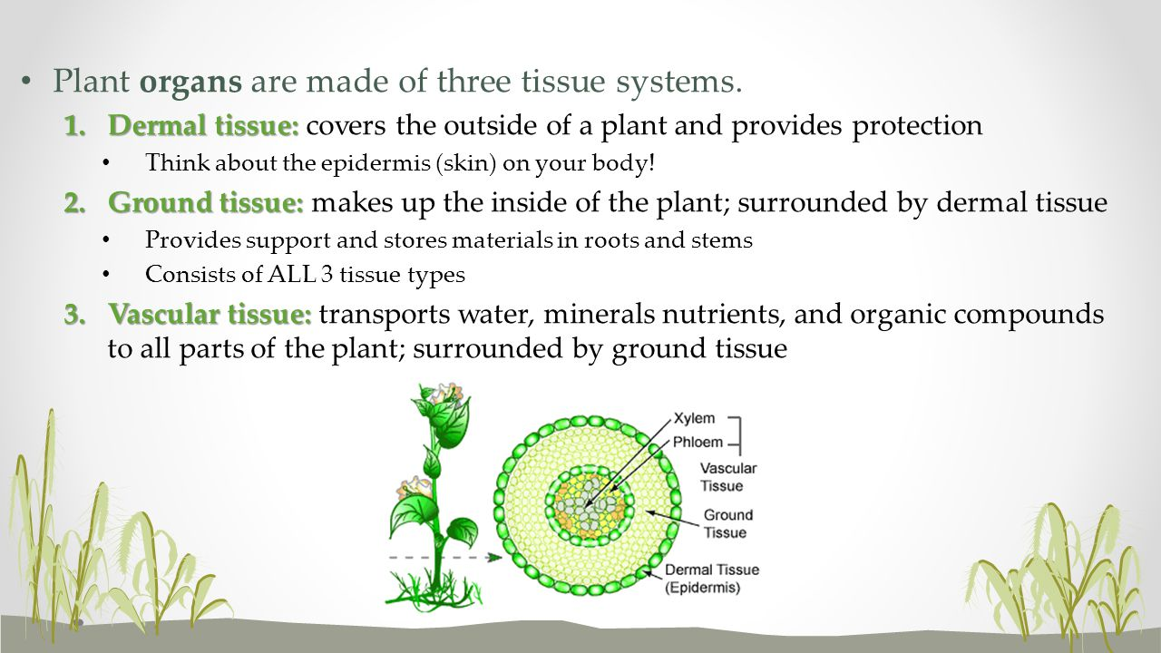 Plant organs are made of three tissue systems.