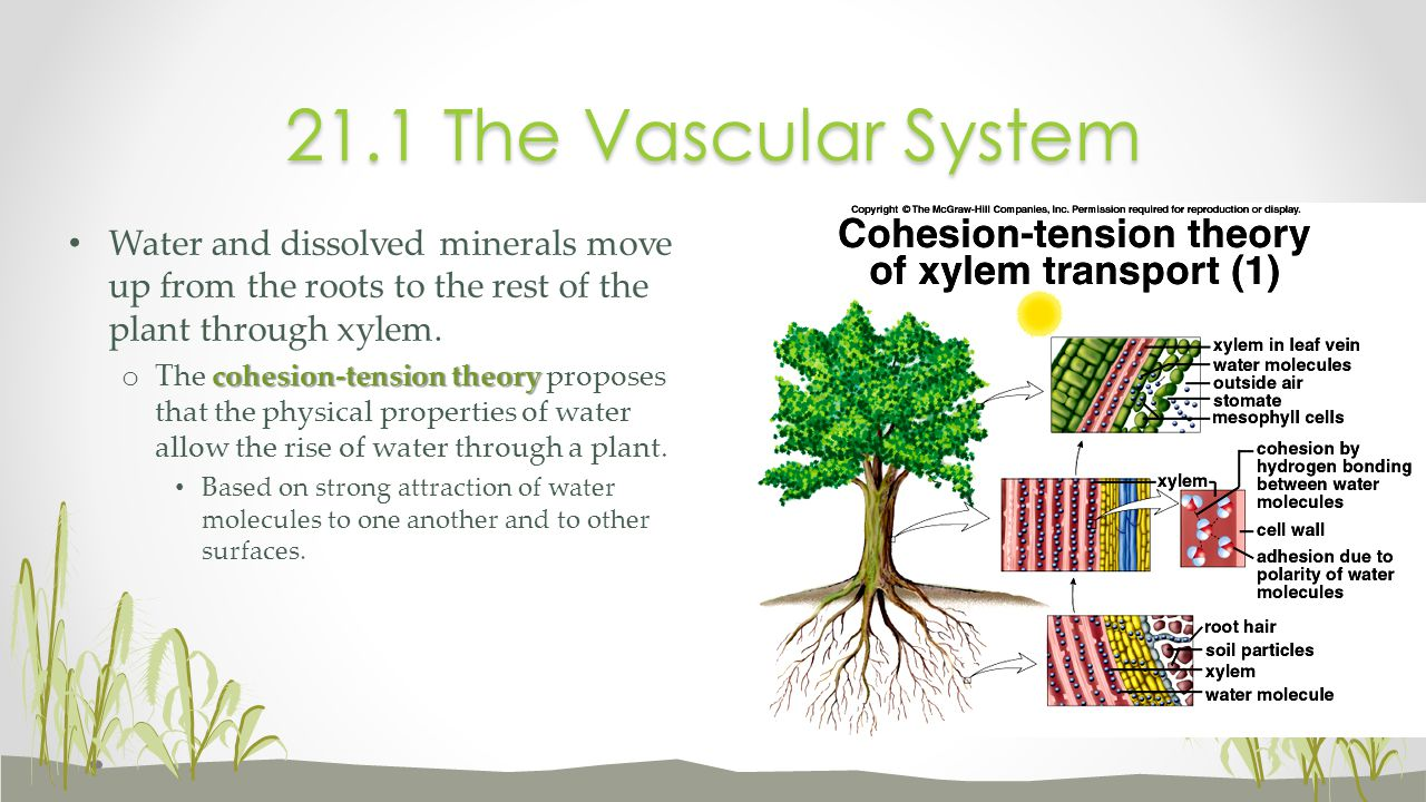 21.1 The Vascular System Water and dissolved minerals move up from the roots to the rest of the plant through xylem.
